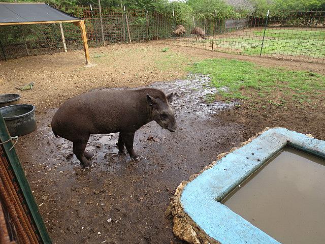 Tapie the Tapir ...
