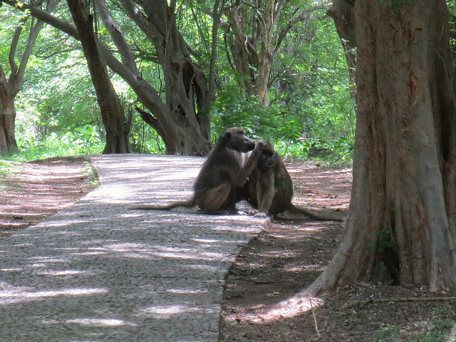 Lice-Picking Baboons