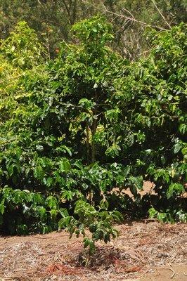 270_CoffeePlants.jpg