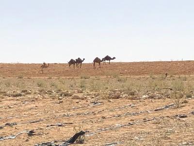 CamelsGrazing.JPG