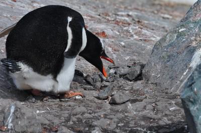 PenguinNestBuilding.JPG