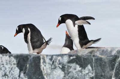 PenguinsLooking.JPG