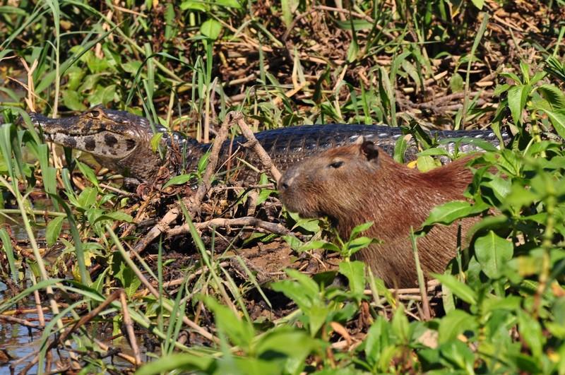 large_CapybaraAndCaiman.JPG