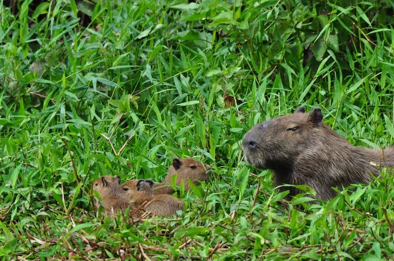 large_CapybaraAndPups.JPG
