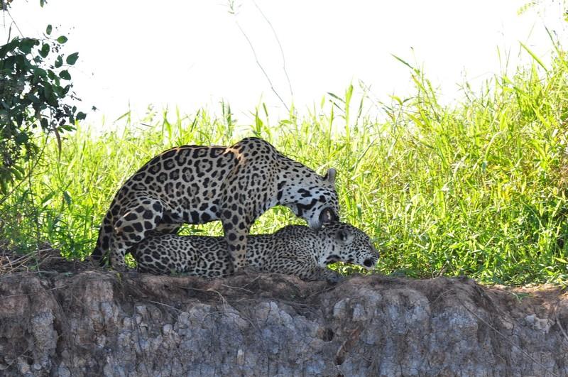 large_JaguarPairMatingBiting.JPG