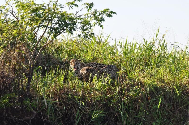 large_JaguarPairSnarling.JPG