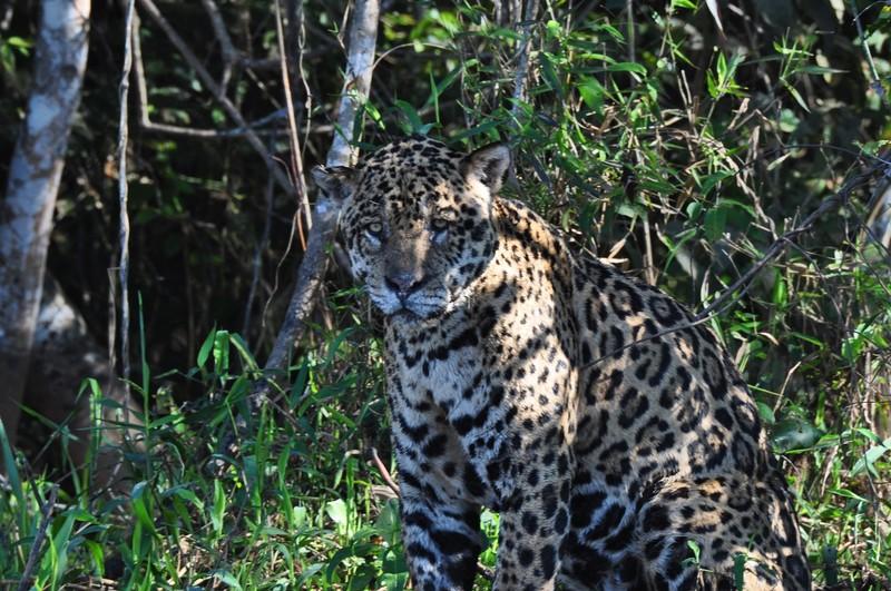 large_JaguarSittingLookingAtMe.JPG