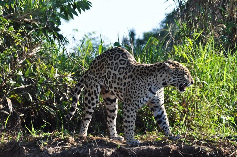 large_JaguarStretching.JPG