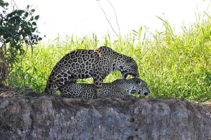 large_JaguarsMating.JPG