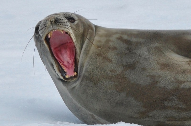 large_YawningSeal2.jpeg