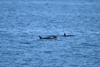 Orcas1.JPG