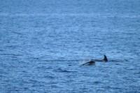 Orcas2.JPG