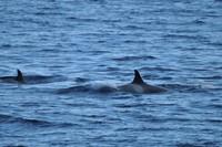 Orcas3.JPG