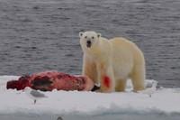 PolarBearStaringEarly.jpg