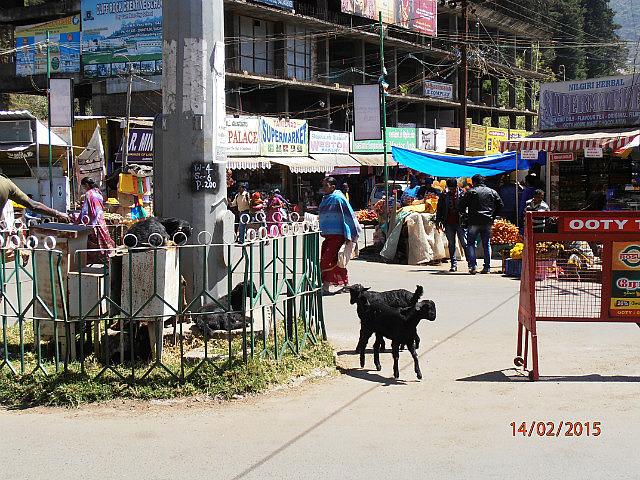 Goats in High Street