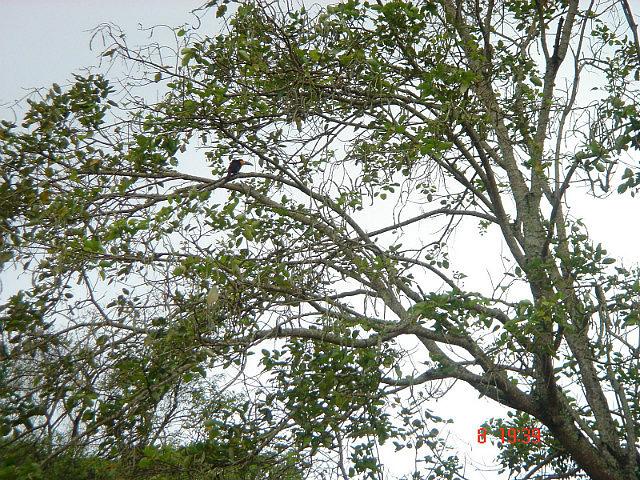 Botanical Garden - Toucan in the trees