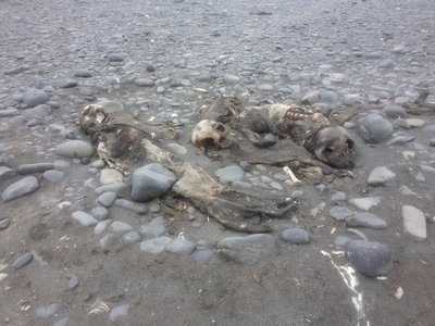 squished seal remains
