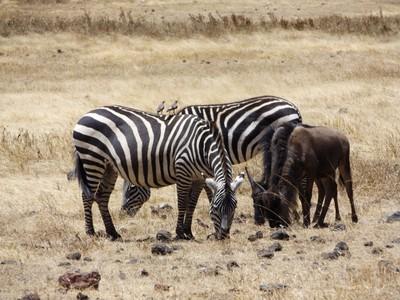 birds on zebras