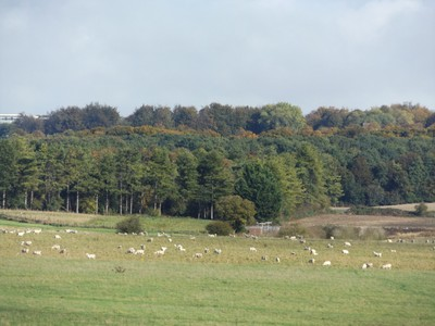 sheep on farms