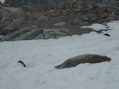 Seal Chillin' as Penguins Waddle By