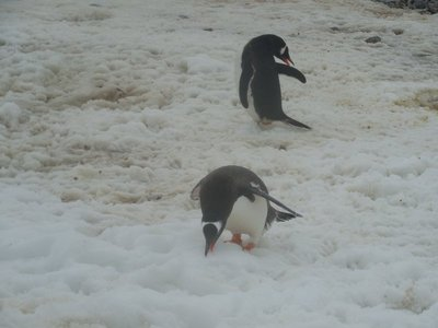 Gentoo eating snow