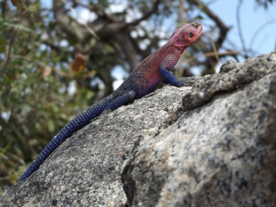colorful agama lizard