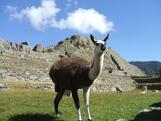 Llama on the lawn