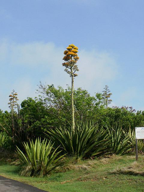 Asparagus Tree
