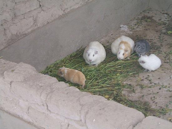 Guinea Pigs- Yum