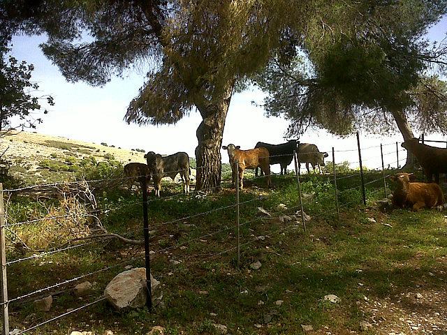 Cows in Nevoraya