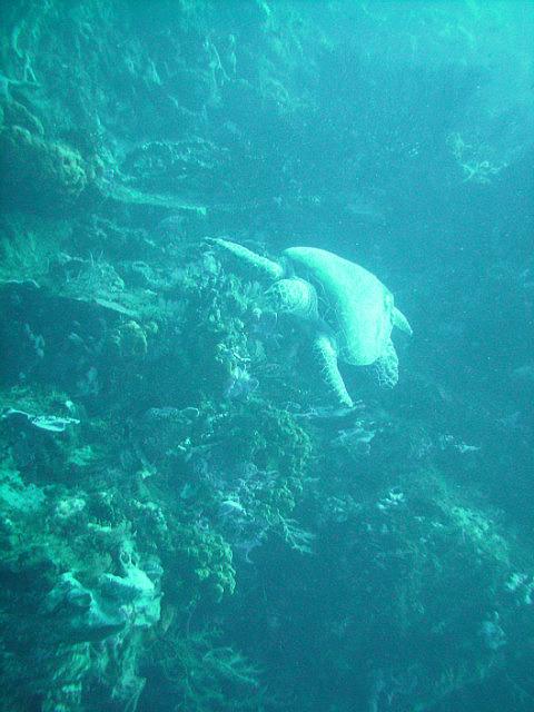 Turtle on scuba dive