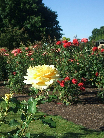 Rotorua rose garden