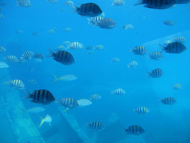 Fish at wreck from Yellow Submarine