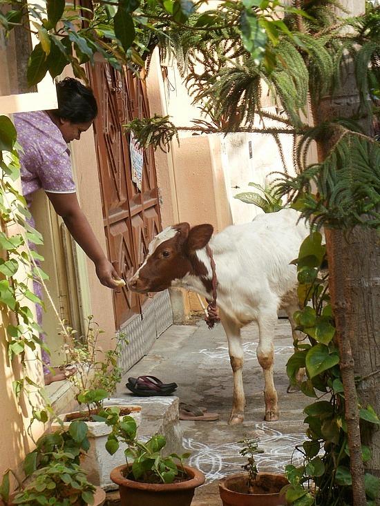 Lady feeding a cow