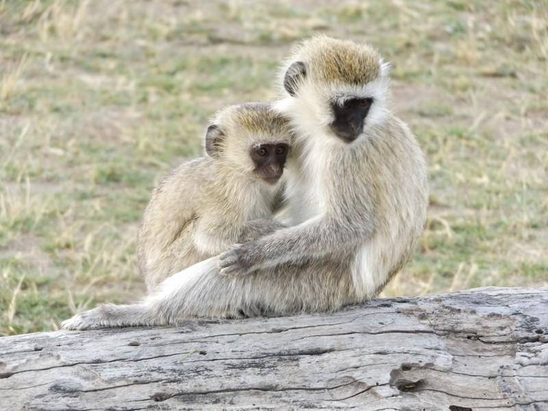 youg blueball monkeys