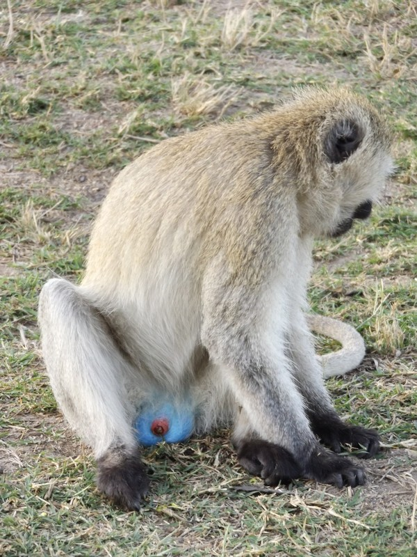 adult blueball monkey
