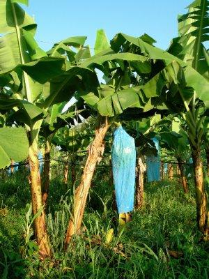GH5_BananaFarm2.jpg