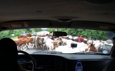 GH7_Cow_Crossing.jpg
