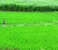 One man and his paddy field.