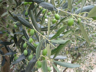 SS-olives.jpg