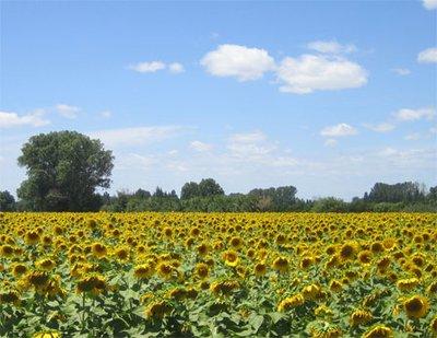 sunflower-field1.jpg