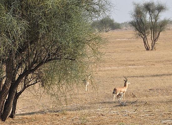 Antelope in the desert
