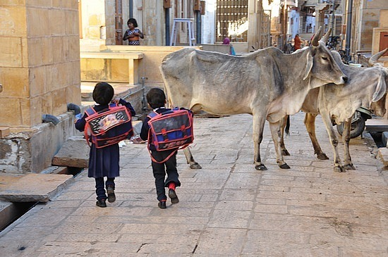 School kids and cows