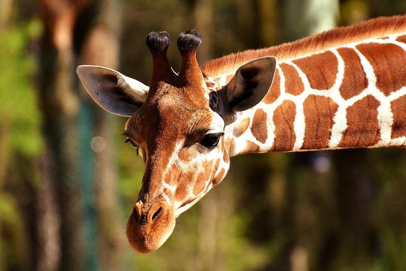 giraffe-2222908_960_720