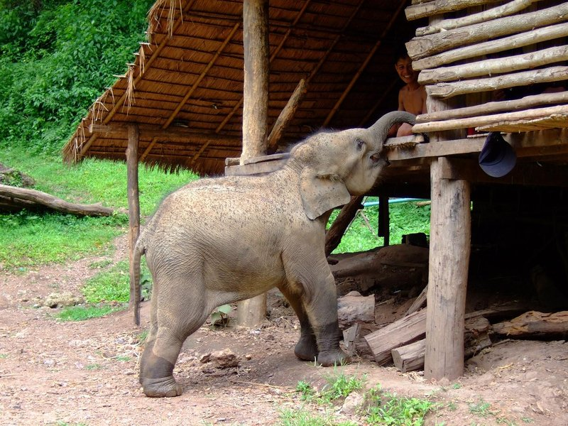 Baby elephant stealing bananas