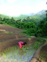 Karen woman planting rice