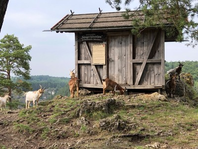 Grazing Goats at the Singing Hut