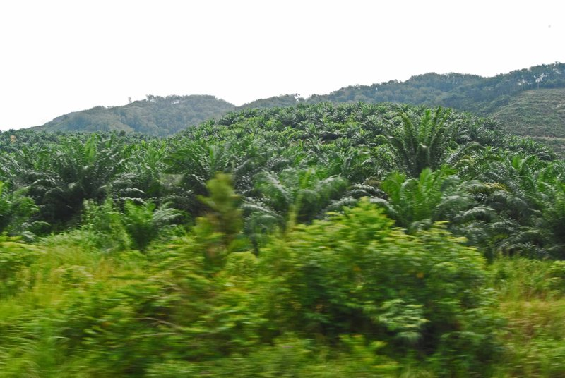 large_Palm_oil_plantation.jpg