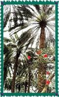 Date palms_1
