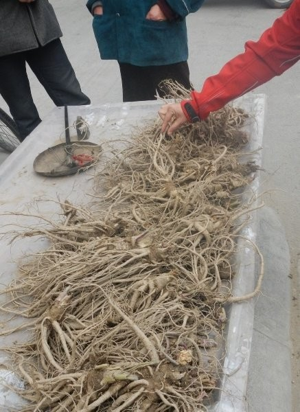 Nanping Town, very expensive rare kind of medicine roots - remotely related to ginger